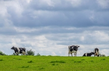 Beautiful Scenery with Cows, Northern Ireland
